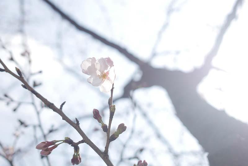 川崎 ソリッドスクエア前の桜並木