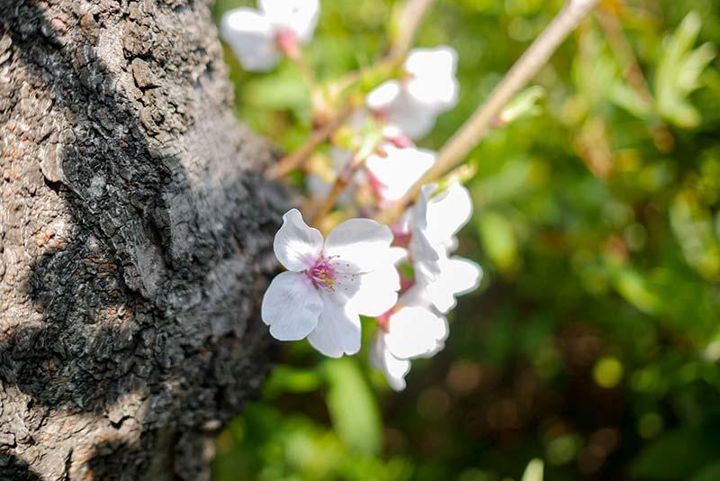 川崎 堀之内ソープランド街へ向かう途中の桜並木